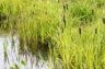 Phytoépuration : des plantes pour assainir les eaux usées